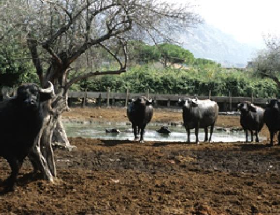 かなり自由な環境で水牛をのびのび育てています。